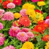 Flores anuales Multicolor