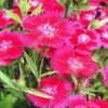 Flores perennes Multicolor