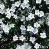 Nierembergia, flor taza