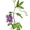 Pasiflora: remedios herbales