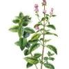 Menta: remedios herbales