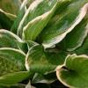 Las plantas perennes