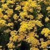 Las plantas perennes de hasta 12 pulgadas