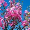 Rosa fucsia de flores anuales