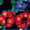 Prímula Polyanthus