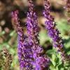 Salvia, prado sabio
