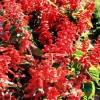 Salvia, salvia escarlata