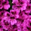 Schizanthus, flor de mariposa, orquídea del pobre