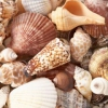 Paredes Seashell