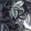 Vagando planta judio