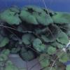 Begonia fresa