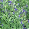 Verano forget-me-not, cabo forget-me-not