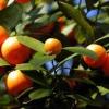 Naranjo dulce