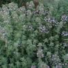 Tomillo: un retrato de una hierba perenne
