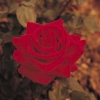 Consejos para el cultivo de rosas