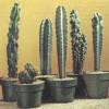 Cactus de la antorcha