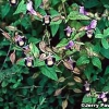 Torenia, flor horquilla