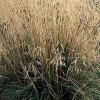 Copetudo hairgrass