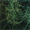 Planta de Umbrella