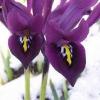 Iris de color violeta con olor