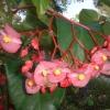 Cera begonia, begonia fibrosa