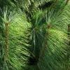 Árbol de pino amarillo occidental