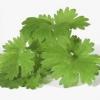 ¿Cuál es el cilantro?