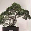 ¿Cuál es la diferencia entre los bonsai y topiaria?