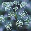 Blanca de flores verdes anuales