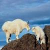 ¿Por qué no las cabras de montaña realmente cabras?