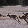 ¿Por qué saltan los canguros?