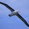 ¿Por qué es mala suerte de matar a un albatros?