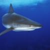 ¿Será un tiburón ahogar si deja de moverse?