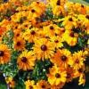 Equinácea Amarillo, perenne negro de ojos Susan