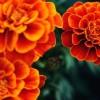 Amarillo de flores anuales naranja