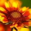 Amarillo de flores perennes naranja
