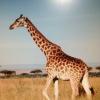 Cómo dibujar una jirafa