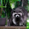 Cómo: Cómo deshacerse de los mapaches
