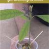Cómo cultivar un aguacate de una semilla