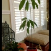 Cómo hacer crecer una planta de aguacate en unos 5 minutos