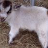 Cómo Cómo biberón Cabras del bebé