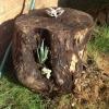 Cómo plantar suculentas en un tocón de árbol