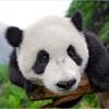 Cómo ahorrar pandas sean tratados cruelmente