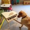 Cómo enseñar a su perro a tocar el piano en un día