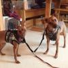 Cómo caminar Ambas sus perros por usted mismo