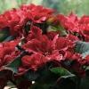 La flor de la Navidad