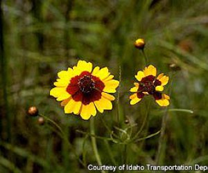Coreopsis (anual)