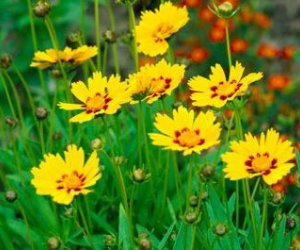 Coreopsis (perenne)